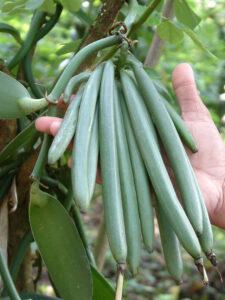 640px-Vanilla_beans